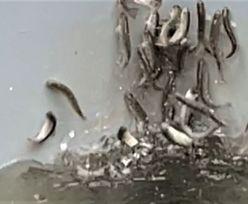 Szalone ryby. Wstrząsające ustalenia niemieckich naukowców