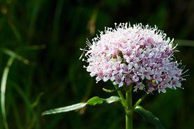 Waleriana – działanie, zastosowanie, skutki uboczne, leki