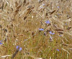 Stare odmiany pszenicy: samopsza, orkisz i płaskurka