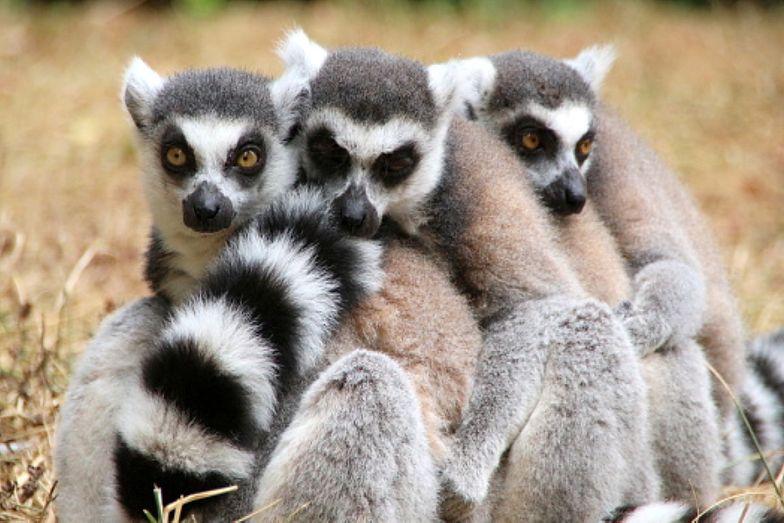 """Lemury znalazły się na skraju wyginięcia. Współwinnym jest """"Król Julian"""""""