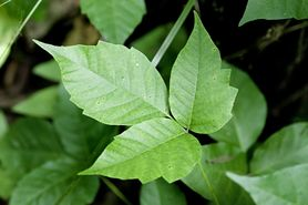 Sumak Jadowity - piękna i niebezpieczna roślina