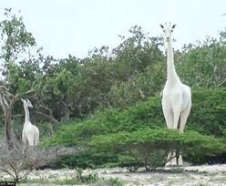 Niezwykle rzadkie białe żyrafy zabite przez kłusowników