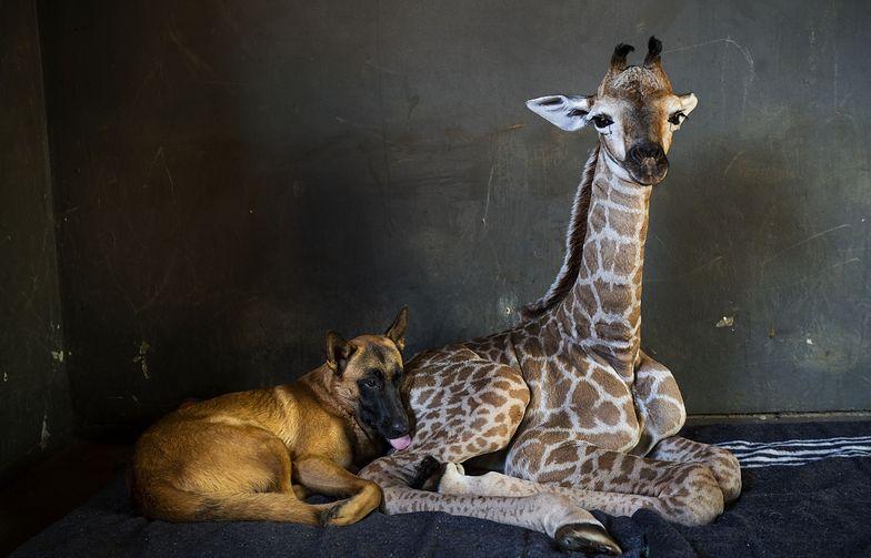 Mała żyrafa nie przeżyła. Pies czuwał przy niej do końca