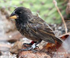 Oglądali na żywo, jak powstaje nowy gatunek ptaka. Pierwszy taki przypadek