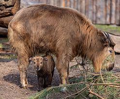 """Pierwsze takie narodziny w polskim zoo. Maleństwo """"depcze mamie po racicach"""""""