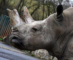 Dania. Zoo w Kopenhadze zabiło nosorożca białego