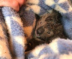 """Martwe koale na plantacji drewna. """"Australia powinna się tego wstydzić"""""""