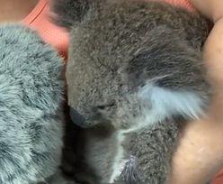 Australia. Osierocona koala przytula zabawkę, która przypomina jej mamę