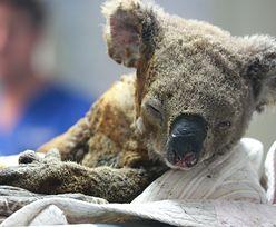 Koala na skraju wymarcia. Tragiczny skutek pożarów w Australii
