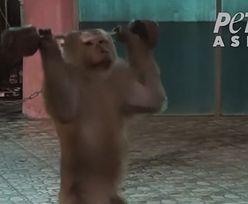 Szokujące nagrania z zoo. Małpa zmuszona do podnoszenia ciężarów