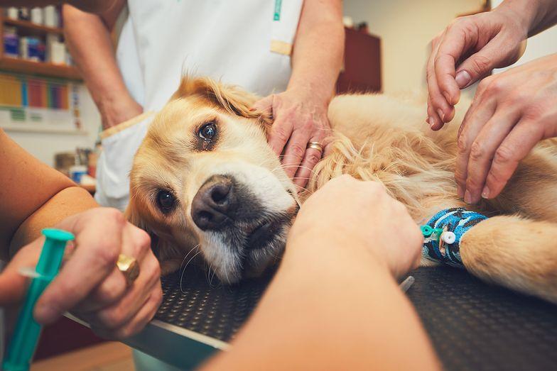 Pies nie ma szans. Epidemia choroby masowo zabija zwierzęta