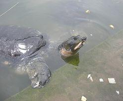 17 lat temu uznano go za gatunek wymarły na wolności. Żółwie uratowane