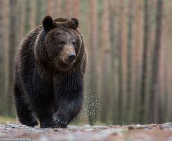Rumunia w strachu po serii śmiertelnych ataków niedźwiedzi