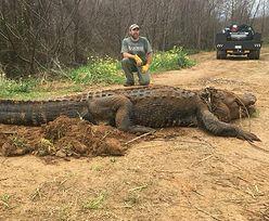 Aligator-gigant znaleziony w USA. To nie eksponat filmowy