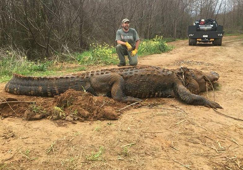 Gigantyczny aligator znaleziony w Denver