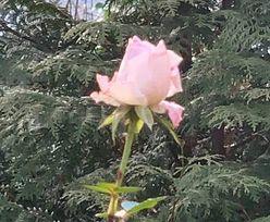 Pogoda stanęła na głowie. Kwitną róże
