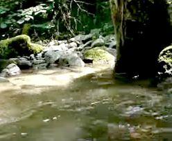Sensacja w Karpatach. Świat nauki uznał to zwierzę za wymarłe