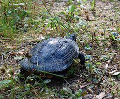 Obcy gatunek w Polsce. Drapieżny żółw w rękach suwalskich leśników