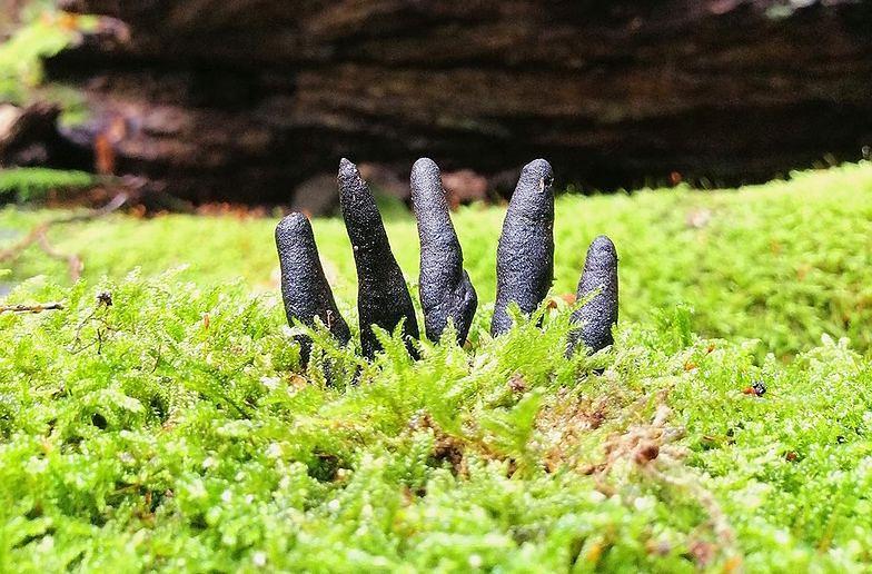 """Znaleźli """"palce umarlaka"""". Lasy Państwowe pokazały zdjęcie"""