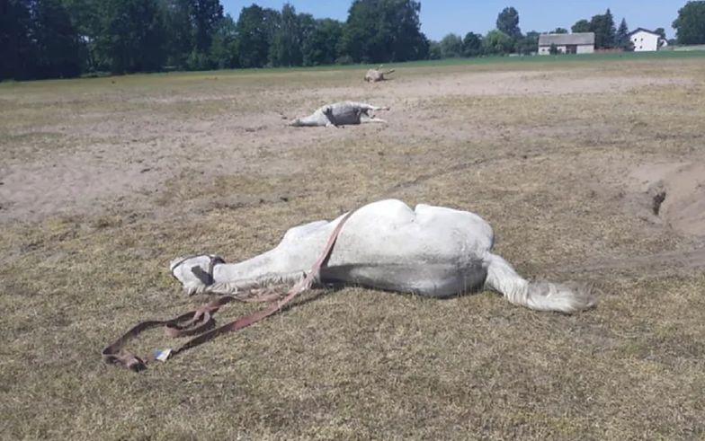 Pasły się i padły. Tajemnicza śmierć stada koni