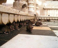 Madryt walczy z plagą ogromnych szczurów. Mogą atakować ludzi