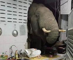 Słoń szukał jedzenia. Włamał się do domu, spowodował ogromne straty