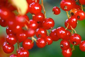 6 niezwykłych korzyści zdrowotnych z jedzenia czerwonych porzeczek