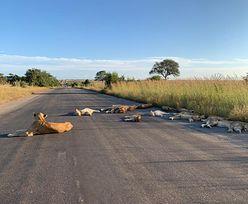 Niezwykły widok w RPA. Lwy wygrzewają się na jezdni w zamkniętym parku narodowym