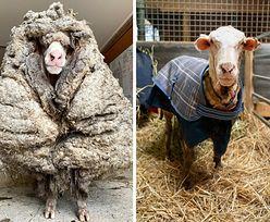 """Niezwykła """"dzika"""" owca. Znaleziono ją w Australii"""