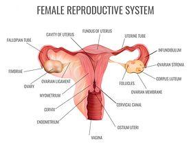 Szyjka macicy - jak wygląda w różnych fazach cyklu i w ciąży