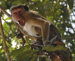 Atak rozwścieczonych małp. 21-latka nie żyje
