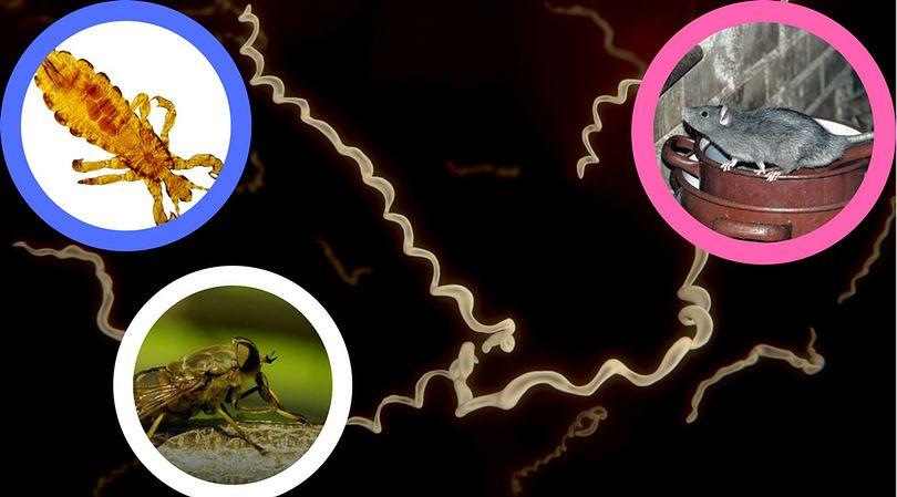 Owady, które zarażają boreliozą