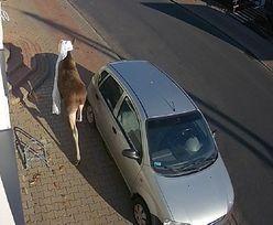 Łoś wskoczył do domu przez okno. Lokatorka trafiła do szpitala