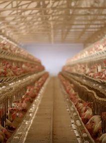 Kurczakom będzie się żyło lepiej w sieciach Carrefour. Czas na pozytywne zmiany