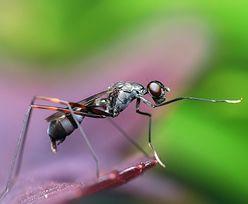 """Mrówki zamieniają się w """"zombie"""". Lasy Państwowe pokazały zdjęcia"""