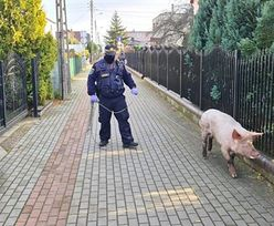 Wstrząsające odkrycie policji w Wejherowie. Wszystko dzięki świni