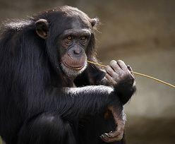 """Belgijka miała """"romans"""" z szympansem. Kobieta dostała zakaz wizyt w zoo"""