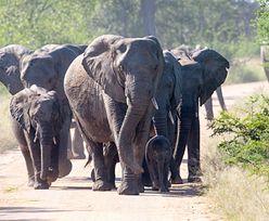 RPA. Kłusownik został zadeptany na śmierć przez stado słoni