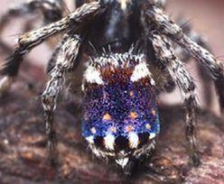 Australia. Odkryto nowe gatunki pająka. Jednego z nich nazwano na cześć obrazu van Gogha