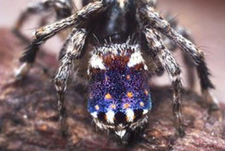 """Najnowszy odkryty pająk przypomina obraz Van Gogha """"Gwieździsta noc"""""""