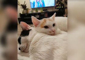 Koty chorują na białaczkę i zapalenie otrzewnej. Pilnie potrzebują pomocy. Nie pozwólmy im umrzeć!