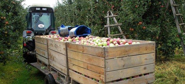 Zdaniem ekspertów nie ma szans na tańsze jabłka. Przynajmniej przez kilka miesięcy
