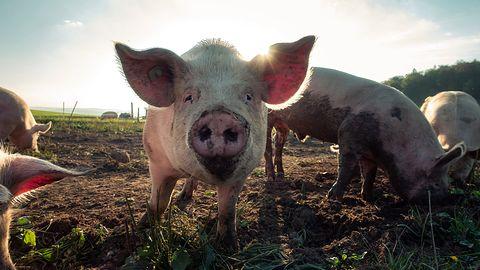 Huawei ma ciężko ze smartfonami, więc rozbudowuje technologie hodowli świń