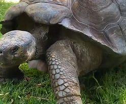 Olbrzymi żółw dostał prezent na 54 urodziny. Natychmiast go zjadł