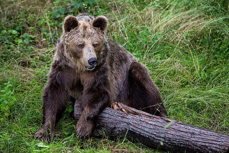 Tatry. Niedźwiedzica wtargnęła do miasta. Władze postanowiły ją zabić