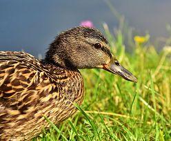 Wykryto wirusa u dzikiej kaczki. To pierwszy taki przypadek od lat
