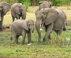 Konflikt słoni i rolników. Nietypowe rozwiązanie w Chinach