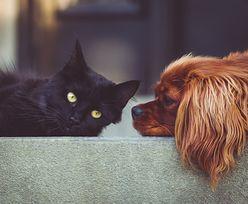 Koronawirus u psów i kotów. Tylko jedno z nich roznosi wirusa. Nowe badania