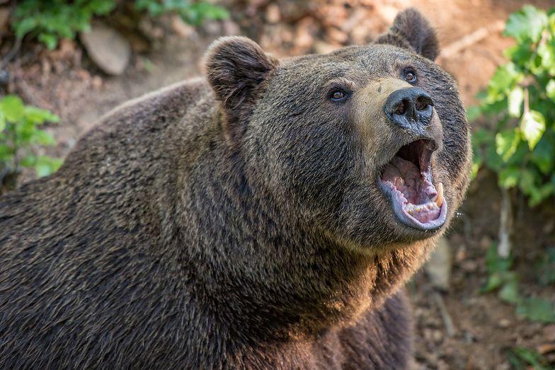 Wszedł do klatki z niedźwiedziem. To się nie mogło dobrze skończyć. Horror w Rosji