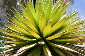 Syrop z agawy –  zastosowanie, wartości odżywcze, wpływ na zdrowie
